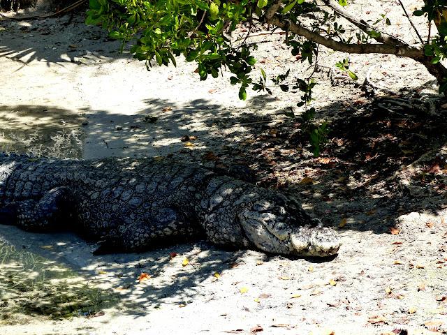 alligator-miami.JPG