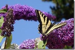 lopez tiger swallowtail 062015 00007