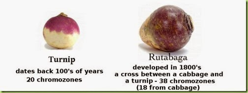 turnip vs rutabaga 2.jpg.opt857x642o0,0s857x642