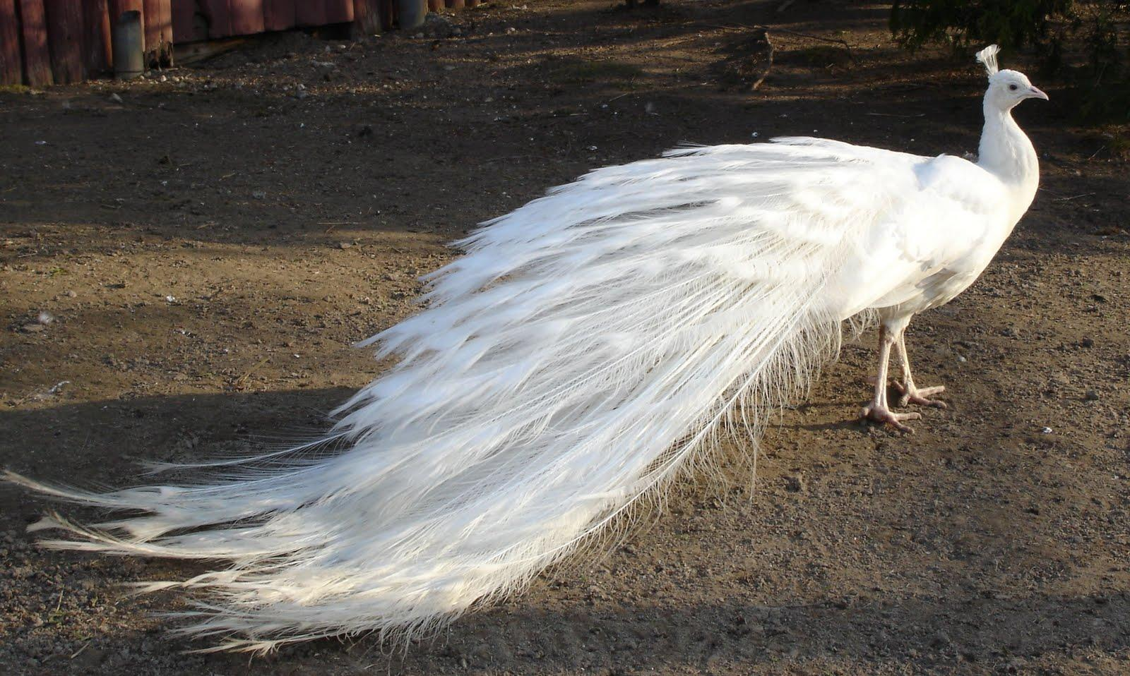 White peacock dress - photo#24