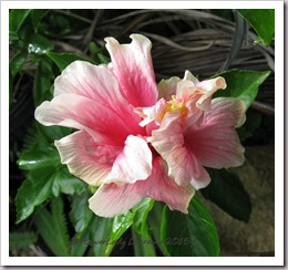 07-16-hibiscus