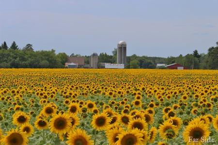 Sunflower Field near Park Rapids