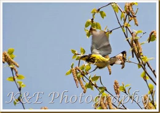 Warbler (3 of 3)-2