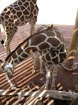 Giraffe in Shadow