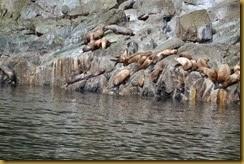 AK sea lions 1A