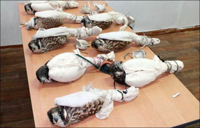 Live peregrine falcons packaged for smuggling out of Russia by poachers, 21 October 2015. The tethered peregrine falcons were hidden in two bags on a freight train bound from Russia to Kazakhstan, said border guards in Altai region. Shocking pictures show how the birds were kept after being seized at the Lokot crossing in Rubtsovsk. Photo: Border Guard Department in Altai region / Siberian Times
