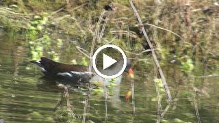 Het Waterhoen zoekt eten in de kikkerpoel