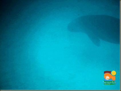 A dugong, spotted just 20 meters offshore. Sorry for the picture quality, the water was rather turbid at the time