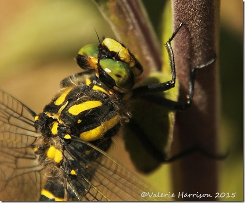 18-Golden-ringed-Dragonfly
