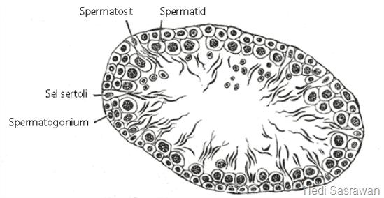 potongan melintang tubulus seminiferus