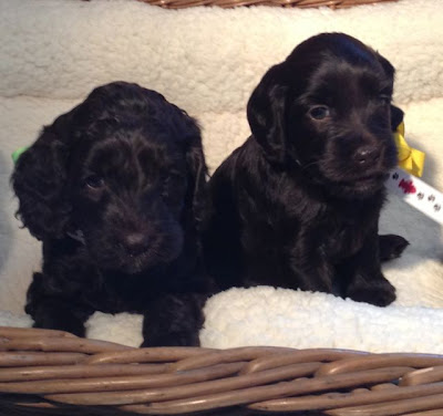 Australian Labradoodles puppies, with gorgeous chocolate coats.