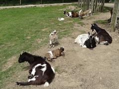 201506.21-048 chèvres