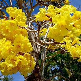 Springtime in South Florida by Michael Villecco - Flowers Tree Blossoms (  )