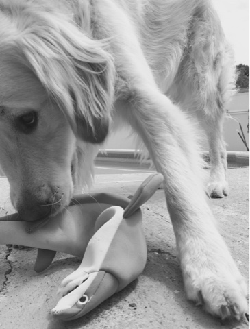 black and white sunday Shark week dog with shark