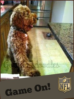 GorgeousDoodles Labradoodle Hatchi watching TV.