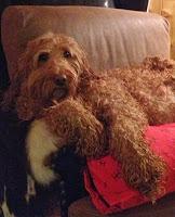 Elenor La'Nora Labradoodles puppies, Just born 09/24/13