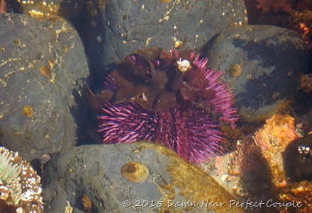 Covered Purpil Urchin