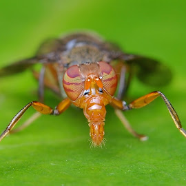 Sepsidae by Herman Wong - Animals Insects & Spiders