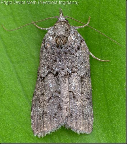 8975 Frigid Owlet Moth (Nycteola frigidana)