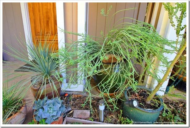 151024_Euphorbia-mauritanica003
