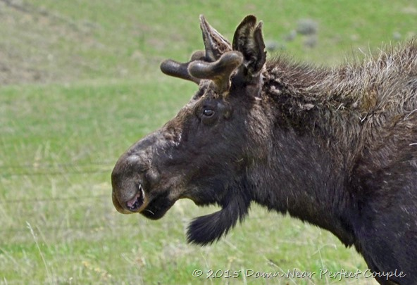 Young Bull Moose2