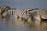Zebras - Etosha, Namibia