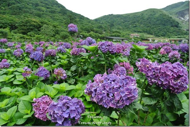 陽明山繡球花 (36)