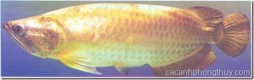 Cá rồng trân châu đốm châu úc