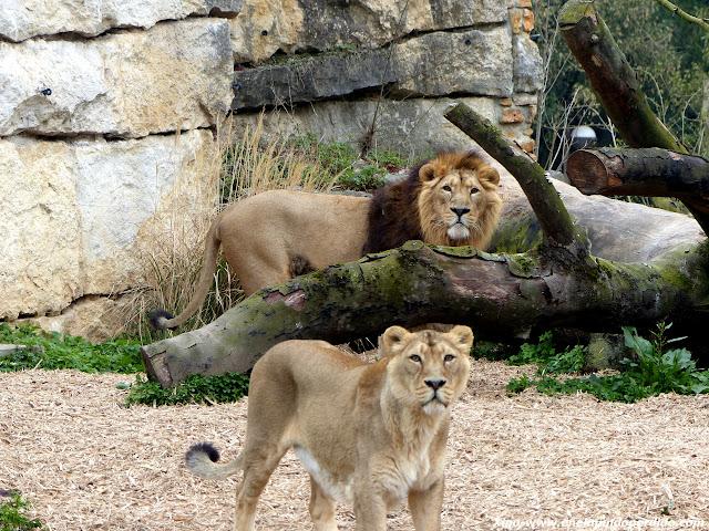 leones-lyon.JPG