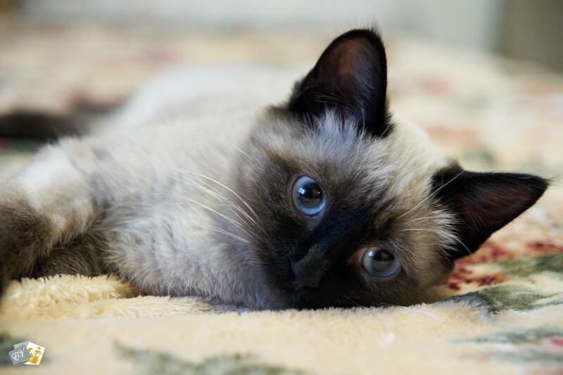 Бэлла, кошка