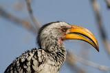Hornbill - Etosha, Namibia