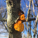 Witch's Butter/Orange Jelly Fungus