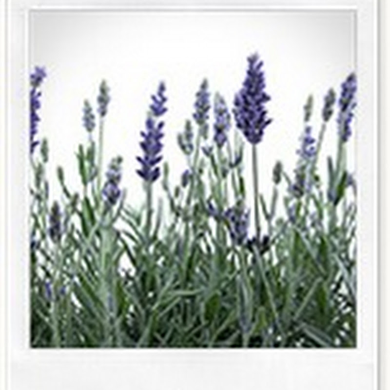 Hạt Giống Hoa Oải Hương Lavender Vera LAV00031