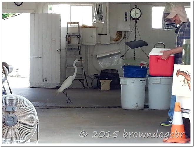 Egret at the shrimp dock6.