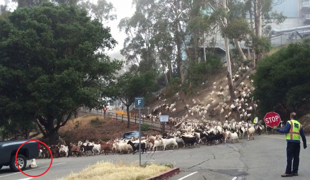 white-dog-watch-herd-of-goats-hires