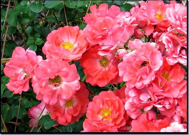 RosesIMG_0558