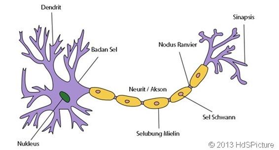 Badan nissl terletak di dalam badan sel (soma)