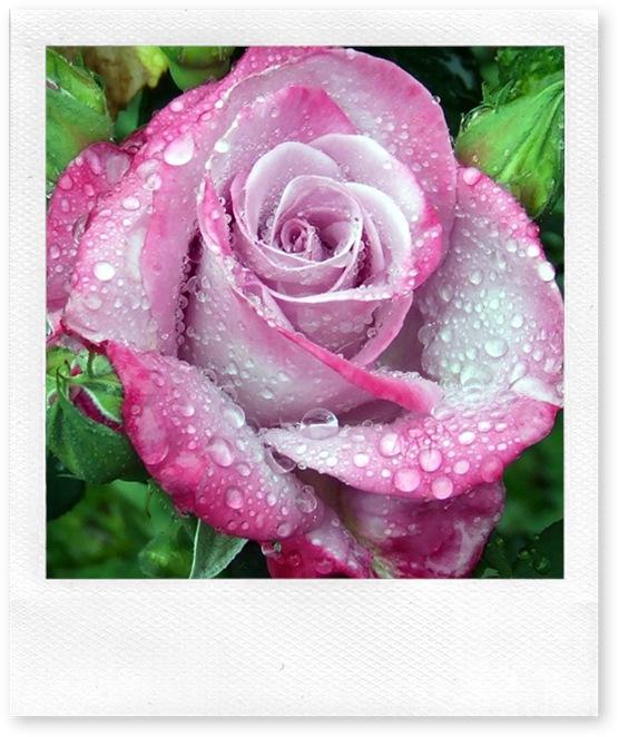linda rosa na chuva