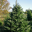 veitch_fir_075.jpg