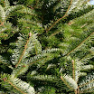 veitch_fir_foliage_07.jpg