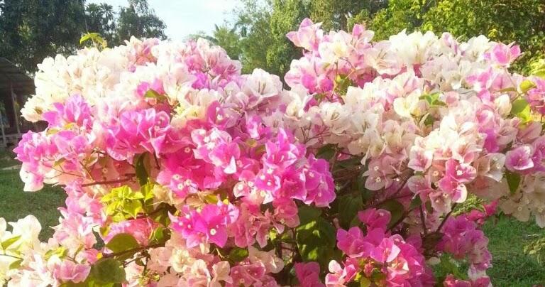 Bunga Kertas Cantuman Pelbagai Warna Amsran Com
