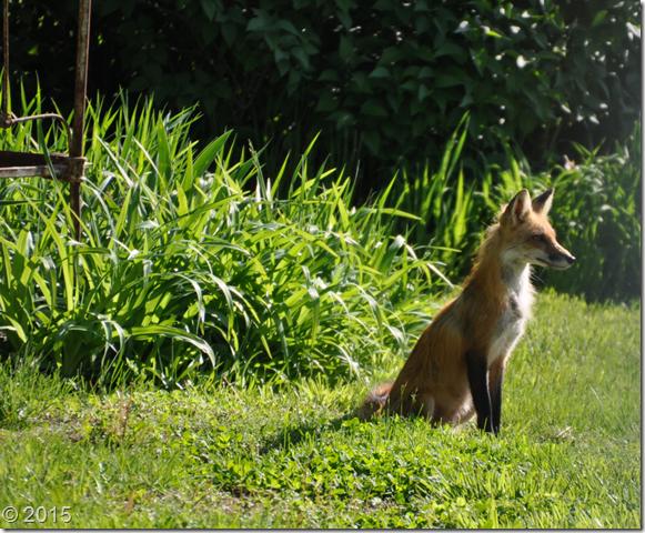 fox mommy2
