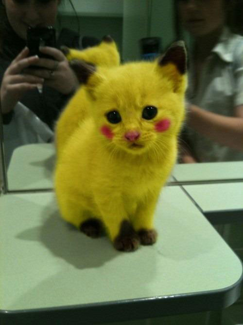 A yellow kitten.