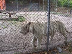 2006.08.28-009 tigre blanc