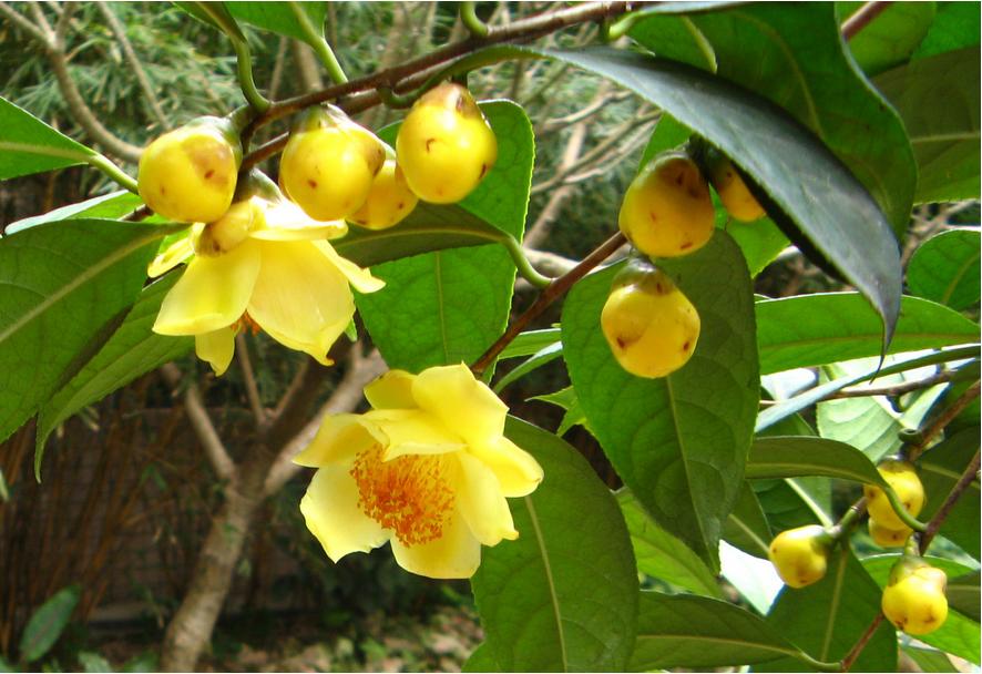 Trà hoa vàng làm cảnh