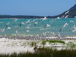 A large group of terns sitting on the beach at West Coast National Park (photo by Clare).