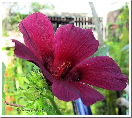 10-16-ruby-hibsicus