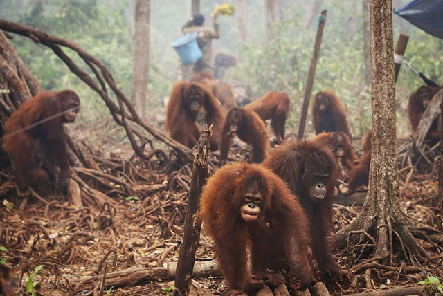 Orangutans in the haze shrouding the Borneo Orangutan Survival Foundation camp on 5 October 2015 Photo: Antara Foto / Reuters