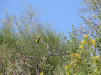 Western Tanager 5/12