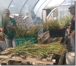 Sorting Garlic in the greenhouse